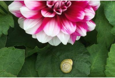 How do I prevent snails in my dahlias?