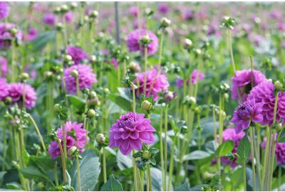 How do I plant dahlia tubers?
