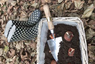 How to plant tulip bulbs?