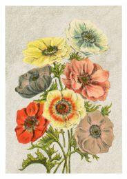 Anemone Colormix