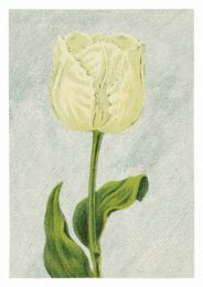 Tulip Witte Valk