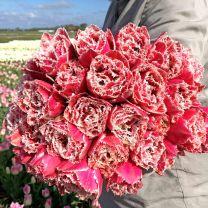 Tulip Brest